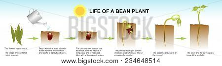 Seed Germination Is A Process By Which A Seed Embryo Develops Into A Seedling. It Involves The React