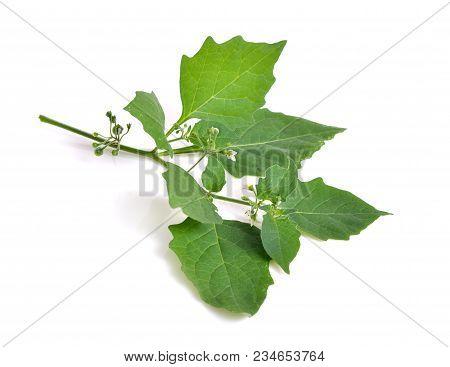 Solanum Nigrum Isolated.