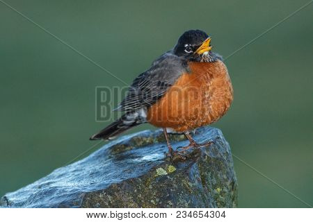 A Small Cute Robin Is Perched On A Rock Near Cannon Beach In Northwest Oregon.