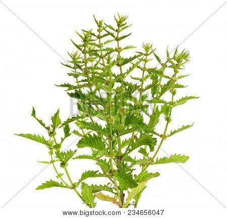 Lycopus Europaeus, Common Names Gypsywort, Gipsywort, Bugleweed, European Bugleweed And Water Horeho