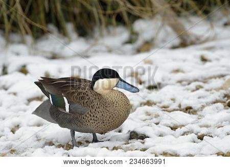 Puna Teal - Anas Versicolor Puna  Standing In Snow