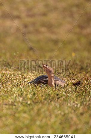 Florida Softshell Turtle Apalone Ferox Up On The Grass