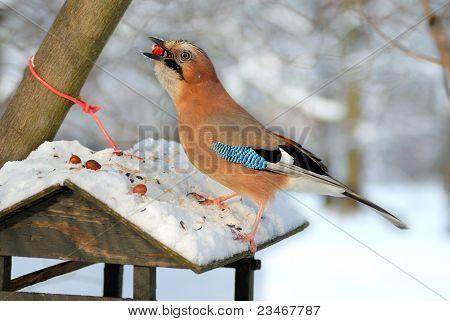 Jay (garrulus glandarius) stealing nuts from a bird feeder.
