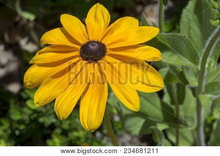 Rudbeckia Hirta (black-eyed Susan Or Gloriosa Daisy)