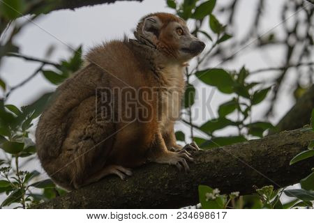 Photo Of A Crowned Lemur Sitting High Up In A Tree