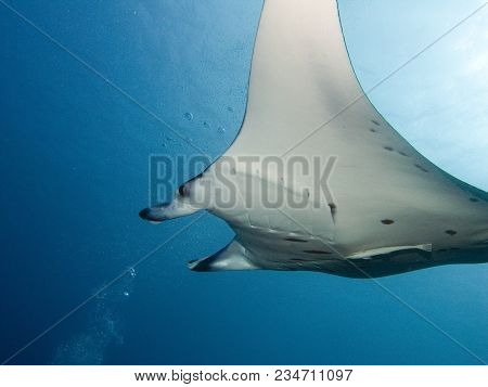 Stingray. The Ocean And Its Inhabitants. Underwater Photography Off The Coast Of The Maldives.