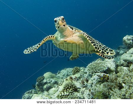 Sea Turtle. The Ocean And Its Inhabitants. Underwater Photography Off The Coast Of The Maldives.