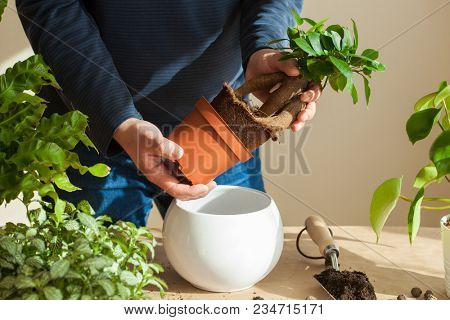gardening, planting at home. man relocating ficus houseplant poster