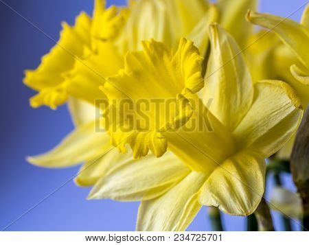 Daffodil Narcissus Is A Genus Of Mainly Hardy, Mostly Spring-flowering, Bulbous Perennials In The Am