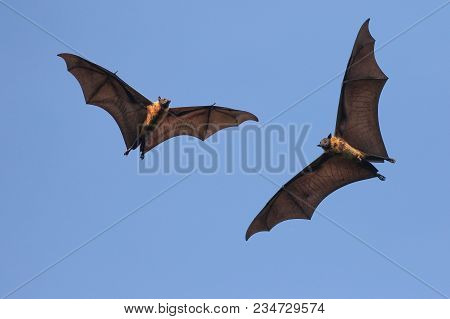 Two Giant Indian Flying Fox Bats On The Sky,  Pteropus  Giganteus