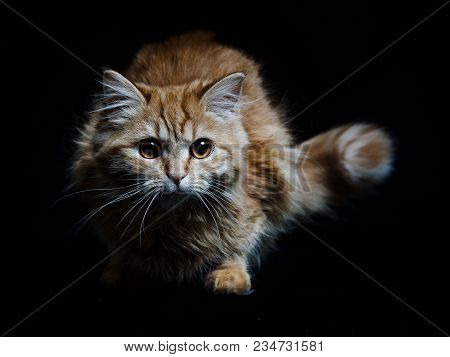 Beautiful Red Maine Coon Cat Sitting With Large Ears And Furry Tail Looking In Camera