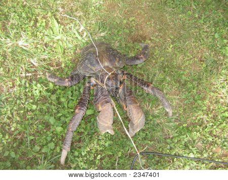 Niue Coconut Crab