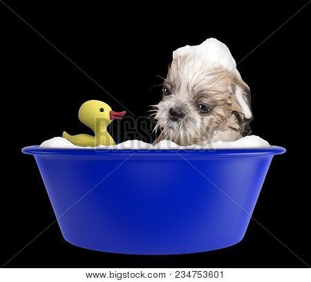 Cute Shitzu Dog Taking A Bubble Bath With Toy. Isolated On Black Background