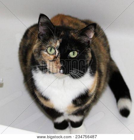 Calico Cat, Half Black Face, Half Brown Face.