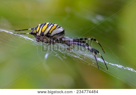 A Female Of Spider-wasp With A Striped Abdomen Is Sitting In Its Web