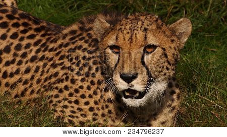 Southern African Cheetah Fixating On The Movements Of Some Prey
