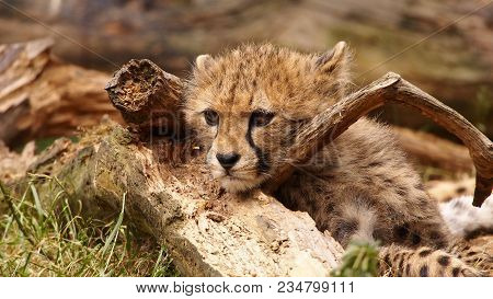 5 Months Old Cheetah Cub Hanging Over A Branch