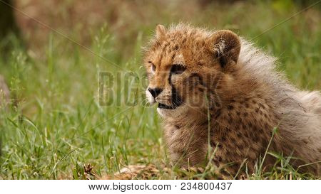 5 Months Old Cheetah Cub Lying In The Grass