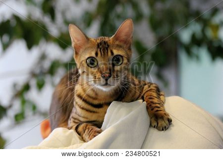 Young Surprised Oriental Cat Make Big Eyes Closeup. Tabby Surprised Cat Or Kitten Funny Face Big Eye