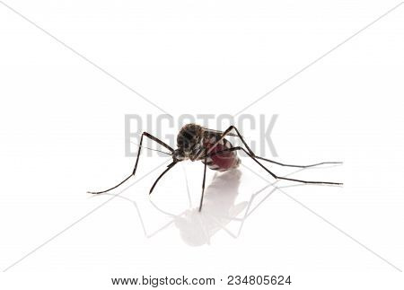 Aedes Aegypti Mosquito. Close Up A Mosquito Sucking Human Blood,mosquito Vector-borne Diseases,chiku