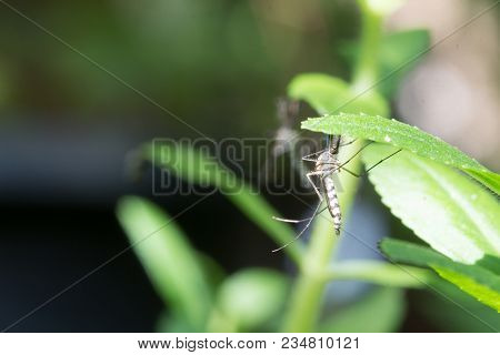 Edes Aegypti Mosquito. Close Up A Mosquito Mosquito On Leaf,mosquito Vector-borne Diseases,chikungun