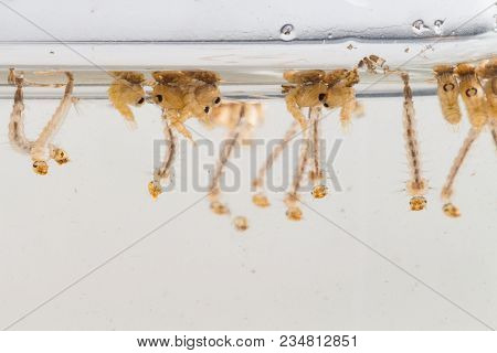 Mosquito larvae in dirty water and young mosquitoes,Instar with shell mosquitoes poster