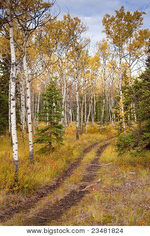 Trail in Golden Aspen Forest
