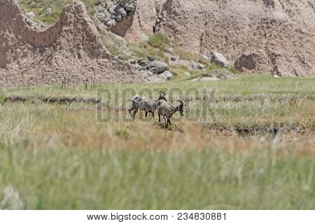 Bighorn Sheep In The Badlands In Badlands National Park In South Dakota