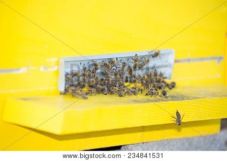 Bees Entering The Hive. Bees Defending The Hive.