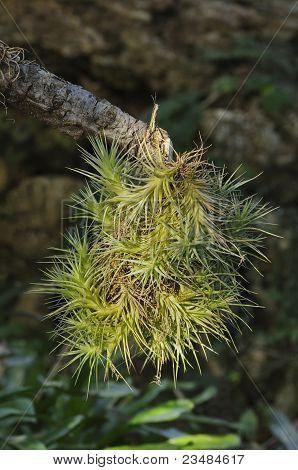 A branch of Tllandsia pulchra