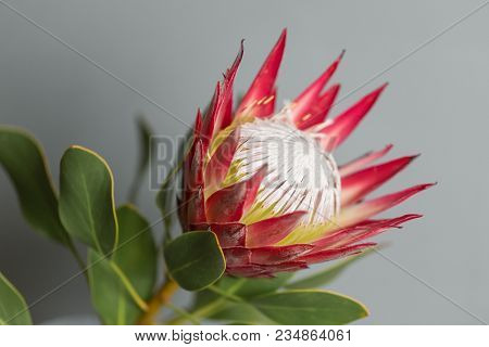 One Large Flower King Protea. Grows In South Africa. Gray Background