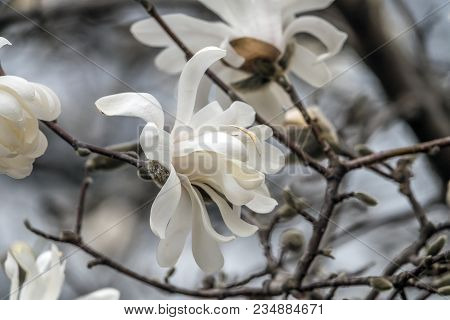 Magnolia Soulangeana ,saucer Magnolia  Is A Hybrid Plant In The Genus Magnolia And Family Magnoliace