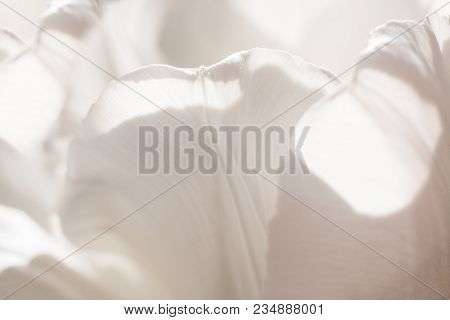 Macro Abstract Background Of Several Sunlit White Tulip Petals With Soft Focus. Wallpaper, Cover, Ba