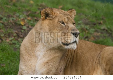 Photo Portrait Of An Alert Barbary Lioness