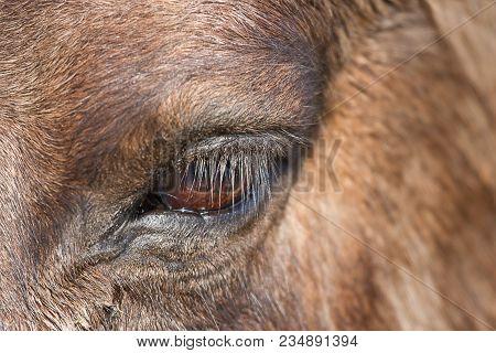 Close-up Photo Of A Konik Wild Horse