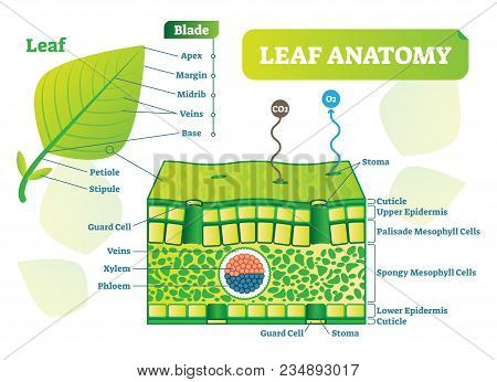 Leaf anatomy vector illustration diagram. Biological macro scheme poster with leaf inner layers, veins and breathing oxygen exchange. poster