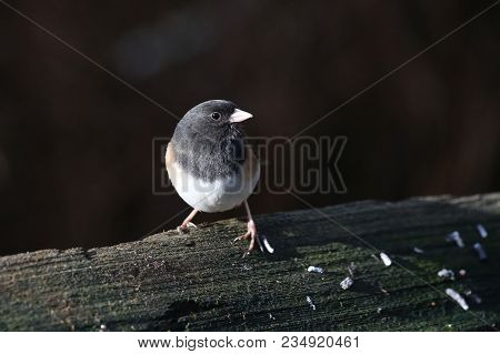 Dark-eyed Junco Bird In Winter At Bc Canada