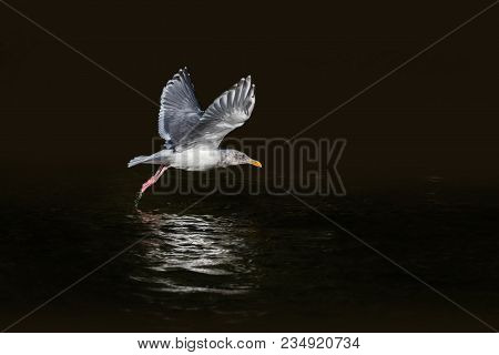 Glaucous-winged Gull Bird In Black Background At Bc Canada