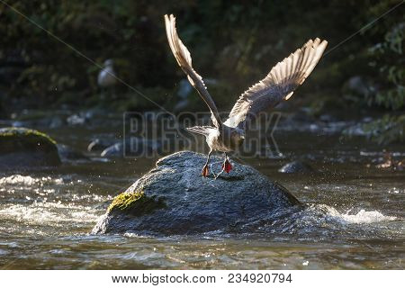 Flying Gull And Fishing Line At Bc Canada