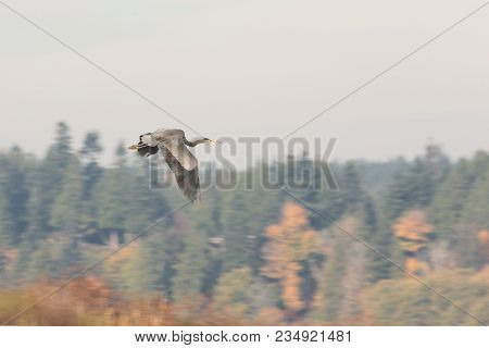 Flying Great Blue Heron At Bc Canada