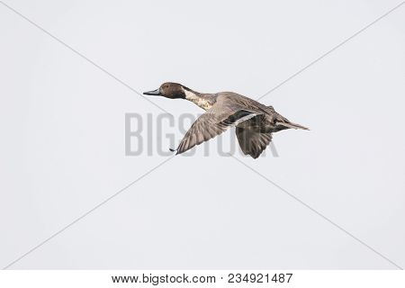 Flying Northern Pintail Duck At Bc Canada
