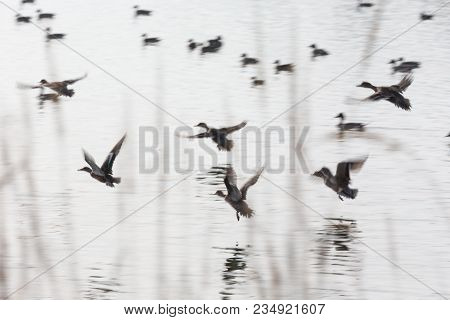 Flock Flying Ducks Background At Bc Canada