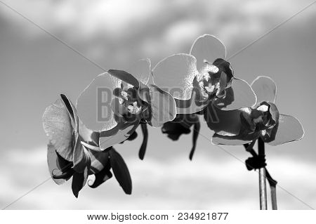 Orchid Pink Flower On Blue Sky Background. Phalaenopsis Orchid Flower. Floral Background.