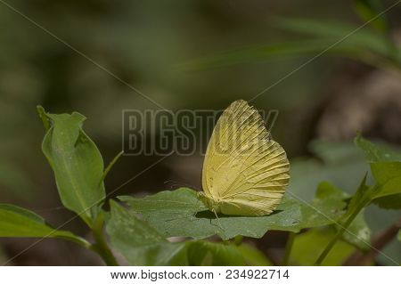 Common Grass Yellow Butterfly (eurema Hecabe) Mud Puddling , Ie, Sucking Up Fluid From Moist Area. I