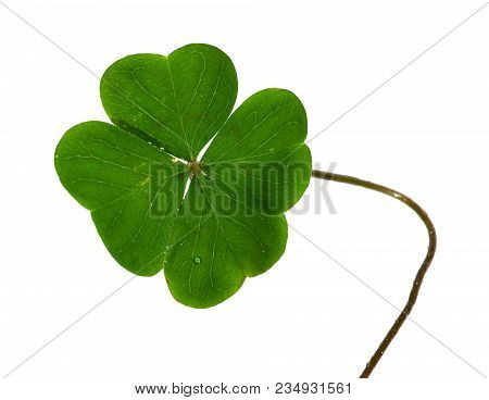 Natural And Irregular Shamrock, Or Four Leaf Clover, And Stem Isolated Over A White Background.