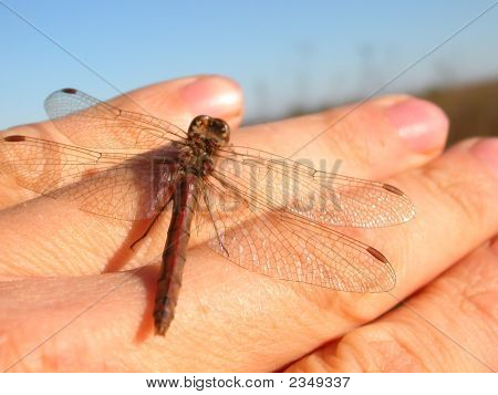 Dragonfly On My Hand