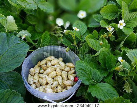 Berries Of White Wild Strawberry In A Pot