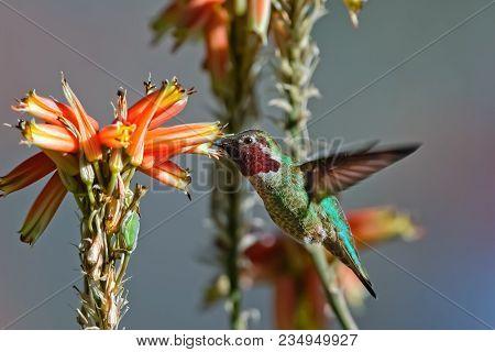 Hummingbird Hybrid
