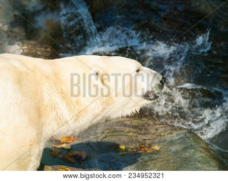 Polar Bear Near The Water - Ursus Maritimus