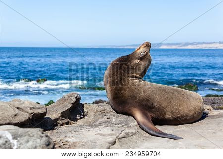 A California Sea Lion Resting On The Beach In La Jolla, San Diego, California (zalophus Californianu